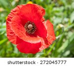 Beautiful Single Red Poppy ...