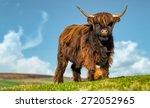 Horned Highland Cattle Graze I...