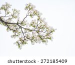 Small photo of American dogwood in the early summer