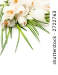 Beautiful white crocus on a white background - stock photo