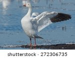 snow goose standing on a mud... | Shutterstock . vector #272306735