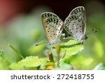 Two Lesser Grass Blue Butterfl...