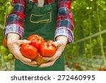 tomatoes in a greenhouse | Shutterstock . vector #272460995