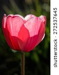 Macro Of Red Tulips Blooming I...