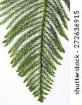 Pine Tree Leaf On White...
