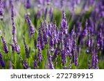 field of blossoming lavender | Shutterstock . vector #272789915