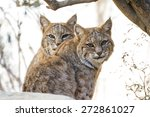 Close Up Of Two Wild Bobcats I...