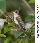 ruby throated hummingbird ... | Shutterstock . vector #27293557