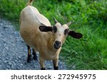 goat on grasses places | Shutterstock . vector #272945975
