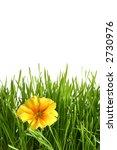 A yellow primrose on a white background - stock photo