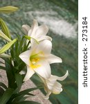This is a shot of some Easter lilies with a pool in the background. - stock photo