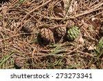 giant redwood  sequoiadendron...