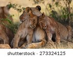Lion Cubs Cuddle With Mother...