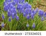 Bluebell Flowers In Bloom In...