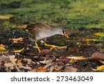 Small photo of White-browed Crake Amaurornis cinerea