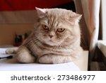 Stock photo british short hair angry cat 273486977