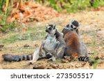ring tailed lemur groups... | Shutterstock . vector #273505517