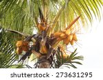 Coconut Tree With Golden Coconut