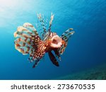 Common Lionfish Yawn  Pterois...