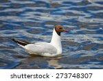 Black Headed Gull. Seagull. ...