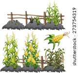 The Stages Of Growing Corn
