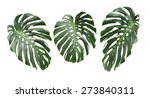 big green leaf of monstera... | Shutterstock . vector #273840311