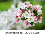 Crabapple blossoms in early spring.  Macro with extremely shallow dof. - stock photo