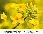 Outdoor Photo Of Canola Plant.