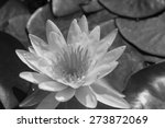 White Water Lily In Monochrome