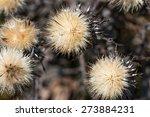 Globe Thistles Plant  Spherical ...