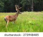Mule Deer In Yosemite National...
