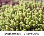 Sedum_green_succulent