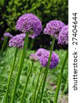 Giant purple allium flowers. (Allium Giganteum)  Shallow dof with selective focus on closest bloom - stock photo