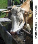 Cow At A Drinking Trough