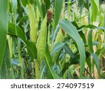 Young Corn Tree.