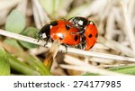 Two Ladybird Insects Pair...