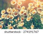 Vintage Wild Chamomile Flowers...