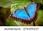 Butterfly The Peleides Blue...