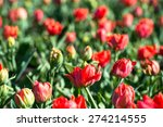 red tulips on a bed selective... | Shutterstock . vector #274214555