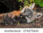 Grey Fox Vixen  Urocyon...