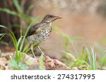 Small photo of Young African thrush (Turdus pelios) standing in a garden