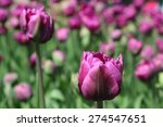 Pink Tulips Close Up In The...