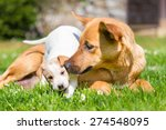 Stock photo mixed breed cute little puppy playing with her dog mom outdoors on a meadow on a sunny spring day 274548095
