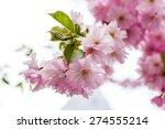 pink sakura flower blooming ...   Shutterstock . vector #274555214