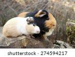 guinea pig love | Shutterstock . vector #274594217