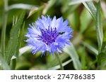 Blue Centaurea Cyanus In Full...