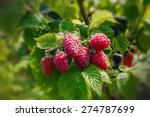 Raspberry. Growing Organic...