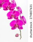 purple moth orchids and bud...   Shutterstock . vector #274807631