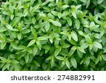 Privet Plant Close Up