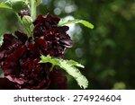 Black  Hollyhock Bloomingl ...